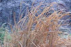 Мертвая трава коричнева outdoors Стоковое Изображение