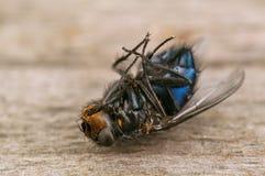 Мертвая черная муха Стоковое Фото