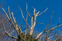 Мертвое дерево в зиме против гениального голубого неба стоковые фото