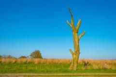 Мертвое дерево в поле под голубым небом в солнечном свете на падении Стоковые Фотографии RF