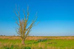 Мертвое дерево в поле под голубым небом в солнечном свете на падении Стоковая Фотография