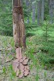 Мертвое дерево в сосновом лесе Стоковые Фото