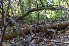 Мертвое дерево на своей стороне на поле леса в высоком парке Торонто стоковые фотографии rf