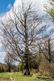 Мертвое дерево около леса стоковые фото