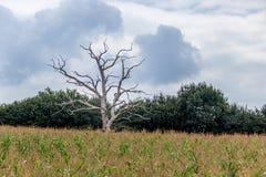 Мертвое дерево растя в поле маиса около Ardingly стоковая фотография