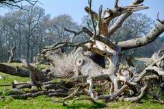 Мертвое дерево выглядеть как гигантский кальмар в западном Grinstead стоковые фотографии rf