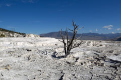 Мертвое дерево в горячих источниках парка Йеллоустона Стоковые Изображения