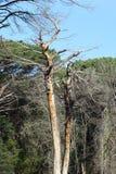 Мертвое дерево в лесе Стоковая Фотография