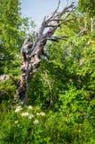 Мертвое дерево в зеленом лесе Стоковая Фотография