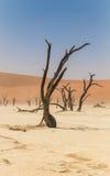 Мертвое дерево в Deadvlei, Намибии стоковое изображение rf