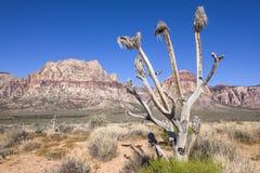 Мертвое дерево Иешуа в красной пустыне каньона утеса, Неваде Стоковые Изображения