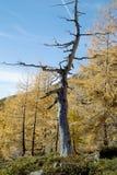 Мертвое дерево лиственницы в лесе Стоковая Фотография RF