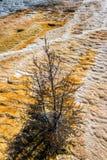 Мертвое дерево на террасе травертина Стоковая Фотография RF