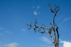 Мертвое дерево с голубым небом стоковая фотография rf
