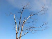 Мертвое дерево с предпосылкой голубого неба Стоковое фото RF