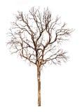 Мертвое изолированное дерево Стоковые Изображения