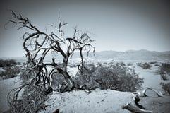 Мертвое переплетенное дерево в пустыне песчанных дюн Mesquite плоских Стоковое Изображение