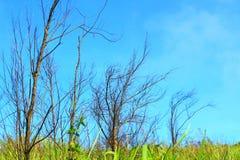 Мертвое поле ветви дерева среднее зеленое с голубым небом Стоковая Фотография RF
