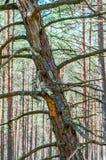 Мертвое сухое тухлое положение сосны наклонило полагаться на других соснах в изумлять вечнозеленый лес стоковые изображения rf