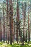 Мертвое сухое тухлое положение сосны наклонило полагаться на других соснах в изумлять вечнозеленый лес стоковое фото