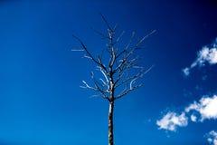 Мертвое Gnarled дерево стоковые фотографии rf