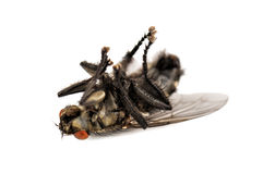 Мертвое hous efly на белизне Стоковые Фотографии RF