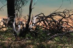 Мертвое Manzanita Стоковое Изображение