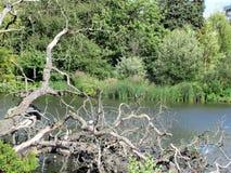 Мертвые ветви дерева около озера в парке Стоковое Изображение RF
