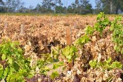 Мертвые виноградные лозы Стоковое Изображение RF