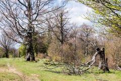 Мертвые деревья около леса стоковые изображения