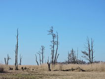 Мертвые деревья в болоте, литовском ландшафте Стоковое Изображение