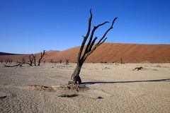 Мертвые деревья в сухом озере Sossusvlei, Намибии Стоковое фото RF