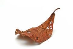 Мертвые листья на белой предпосылке Стоковое фото RF