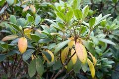 Мертвые листья на рододендроне Стоковое фото RF