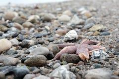 Мертвые морские звёзды на скалистых берегах, Дания Стоковые Изображения