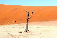 Мертвые песчанные дюны пустыни дерева восхода солнца Vlei, Намибия Стоковое фото RF