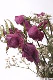 мертвые розы Стоковое фото RF
