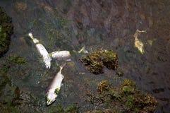 Мертвые рыбы в реке Стоковое Изображение RF