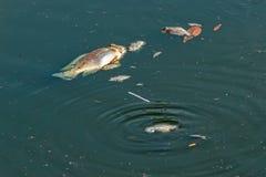 Мертвые рыбы плавая в загрязненную воду Стоковая Фотография RF