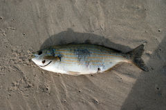 Мертвые рыбы Стоковая Фотография