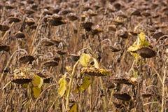 мертвые солнцецветы Стоковые Фотографии RF