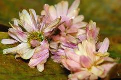 мертвые цветки Стоковая Фотография