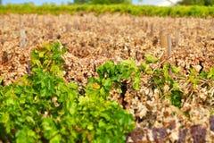 Мертвый виноградник Стоковое Изображение