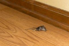 Мертвый грызун мыши в доме или доме, паразитах стоковая фотография