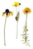 Мертвый изолированные ноготк и солнцецвет Стоковое Изображение