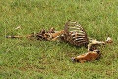 Мертвый и туша газеля гнить Стоковая Фотография RF