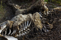 Мертвый кенгуру Стоковое фото RF