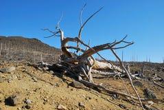 мертвый корень Стоковые Фото