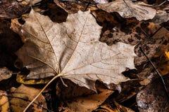 мертвый клен листьев Стоковые Фото