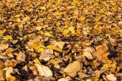 мертвый клен листьев Стоковая Фотография
